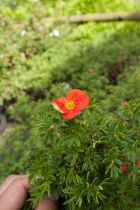 Potentilla fruticosa \'Red Ace\'