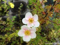 Potentilla fruticosa \'Sophie Bush\'