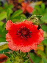 Potentilla nepalensis \'Miss Willmott\'