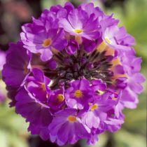 Primula Beesiana