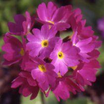 Primula denticulata \'Prom Deep Rose\'
