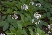 Primula japonica \'Alba\'
