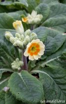 Primula veris \'Lime with orange\'