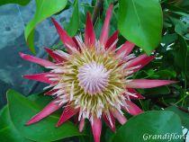 Protea cynaroides \'Little Prince\'