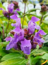 Prunella grandiflora \'Freelander Blue\'