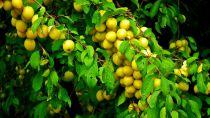 Prunier \'Golden Japan\' - Prunus domestica