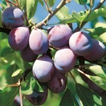 Prunier \'Quetsche d\'Alsace\', arbre fruitier caduc à feuille verte et aux fruits rouge violacé en été.
