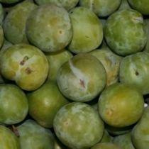 Prunier \'Reine Claude d\'Oullins\', arbre fruitier caduc à feuille verte et aux fruits jaune vert en été.