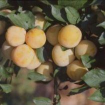 Prunier \'Reine Claude Doré\' arbre fruitier caduc à feuille verte et aux fruits vert doré en été.