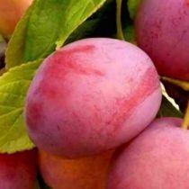 Prunier \'Victoria\', arbre fruitier caduc à feuille verte et aux fruits rouge violacé en été.