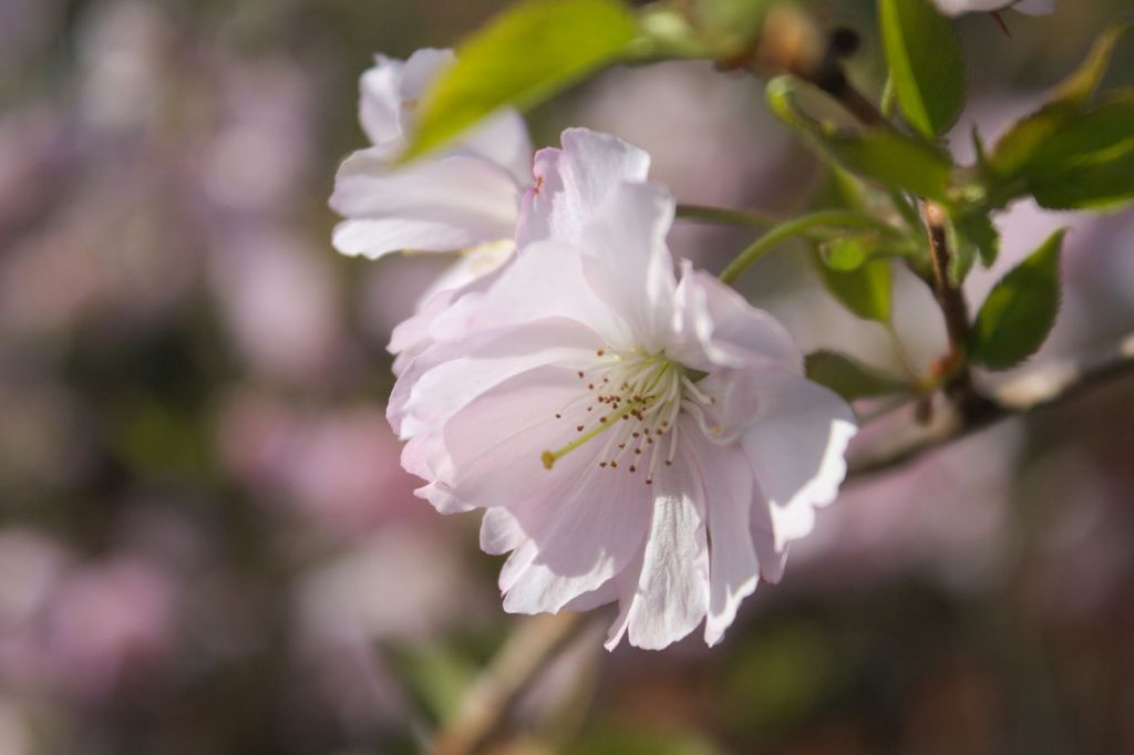 Prunus \' Accolade \'