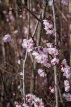 Prunus \' Blireana \', arbre caduc au feuillage caduc vert bronze en été et aux fleurs rose clair au printemps.