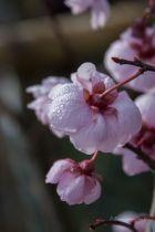 Prunus \' Blireana \'