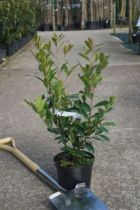 Prunus \' Caroliniana \', arbre au feuillage persistant vert foncé et aux fleurs blanche en grappe au printemps. Fruits noir.