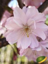 Prunus \'Accolade\'