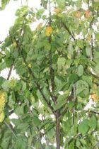 Prunus* avium