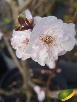 Prunus \'Blireana\'