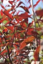 IMG_0378, arbre au feuillage caduc très rouge pourpre à la naissance puis vert pourpré en été et rouge cuivré en automne. Petites fleurs rosées puis blanche au printemps.