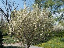 Prunus* eminens \'Umbraculifera\'