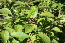 Prunus* incisa \'Kojo No Mai\'