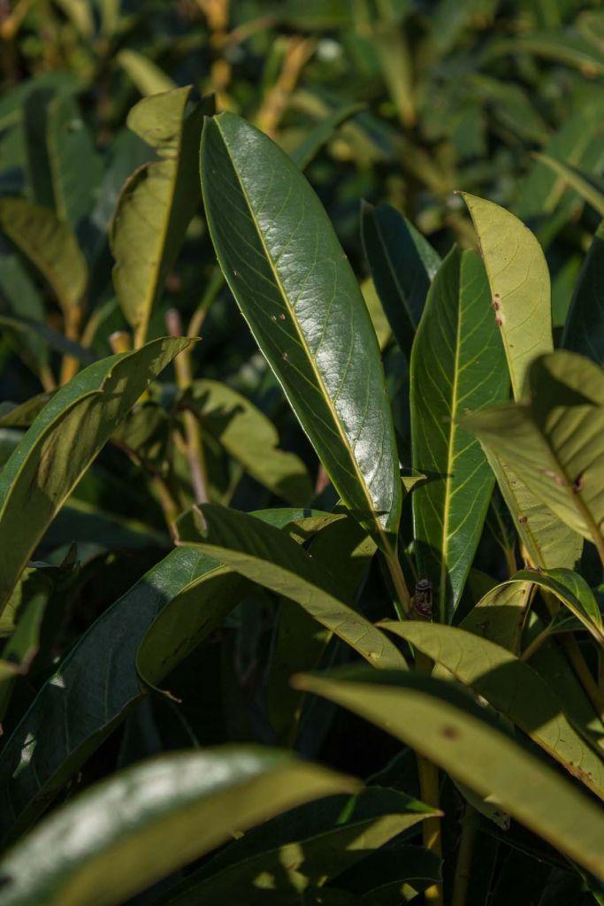 Prunus* laurocerasus \'Caucasica\'