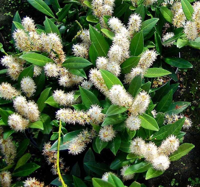 Prunus* laurocerasus \'Otto Luyken\'