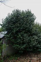 Prunus* lusitanica