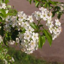 Prunus* mahaleb