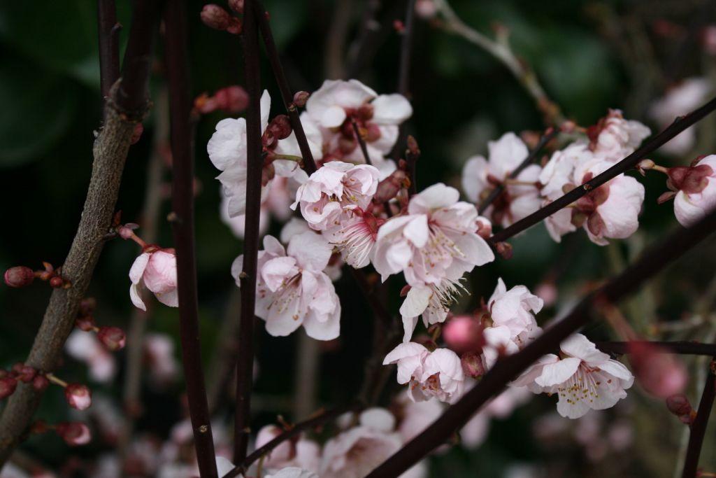 Prunus \'Okame\'