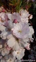 Prunus* serrulata \'Amanogawa\'