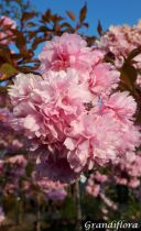 Prunus* serrulata \'Kiku-Shidare-Zakura\'