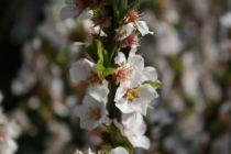 Prunus* tomentosa