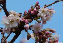 Prunus* x subhirtella autumnalis \'Rosea\'