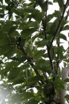 Prunus* x yedoensis