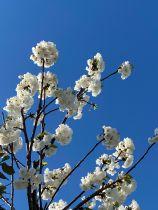 Prunus avium \'Plena\'