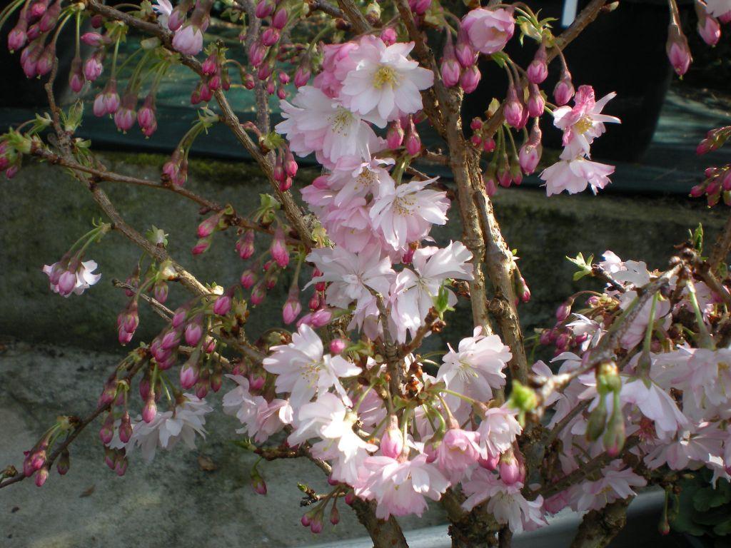 Prunus incisa \' Kojo No Mai \'