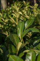 Prunus laurocerasus \' Rontundifolia \'