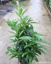 Prunus laurocerasus Genolia® \'Mariblon\'