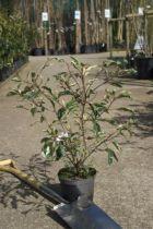 Prunus lusitanica \' Variegata \'