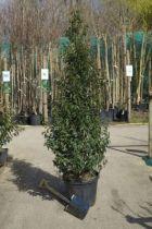 Prunus lusitanica \'Angustifolia\'