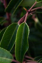 Prunus lusitanica, arbuste persistant vert foncé au jeune bois rouge et aux fleurs blanches au printemps.