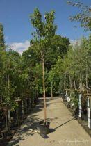 IMG_0387, arbre au feuillage caduc vert clair et jaune en automne et aux fleurs blanches au printemps. Tronc lumineux jaune cuivre.