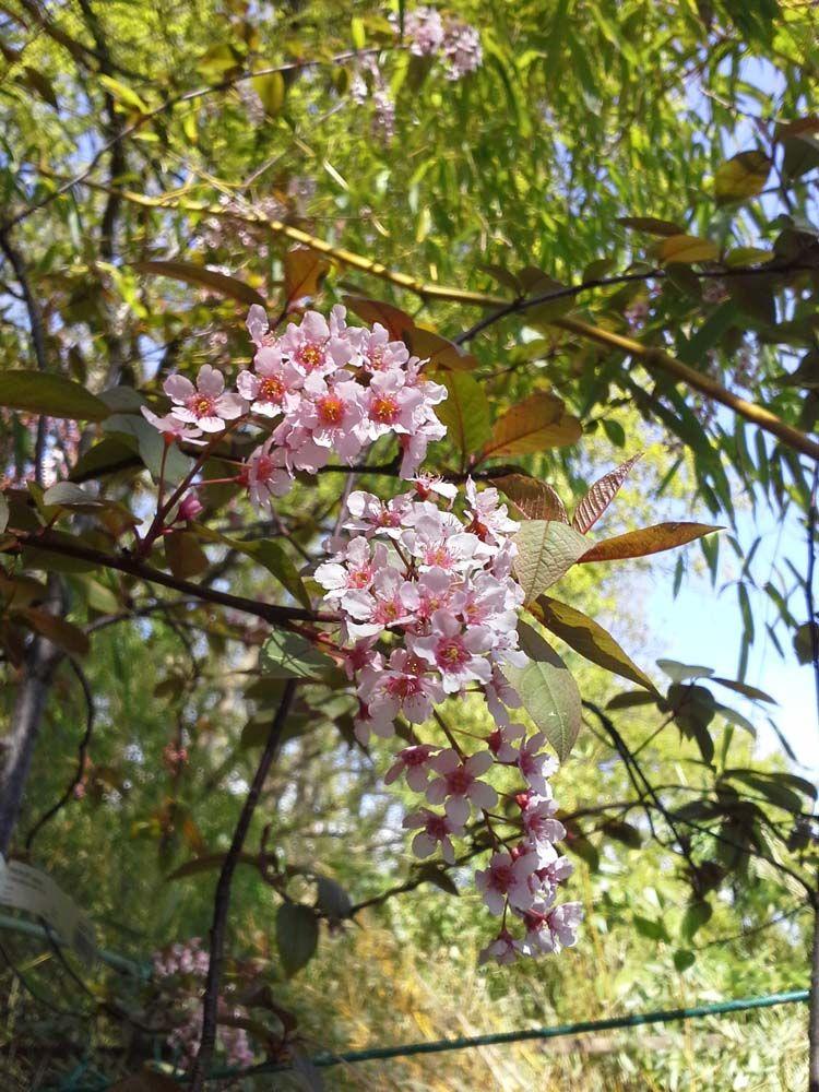 ABR2117_A, arbre au feuillage caduc pourpre clair virant au vert pourpré en été. Fleurs rose au printemps. Ecorce pourpre foncé.