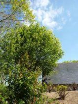 prunus padus arbre au feuillage caduc vert foncé et aux fleurs blanche au printemps. Fruits, cerises rond noir amères.