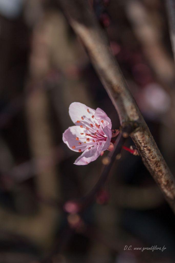 Prunus pissardii \' Nigra \'