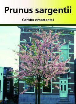 Prunus sargentii, arbre au feuillage caduc bronze au printemps virant au vert en été puis au rouge orangé à l\'automne. Belle écorce brune. Fleurs simple rose au printemps.