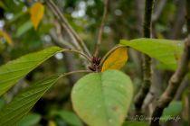 Prunus serrulata \' Kanzan\'