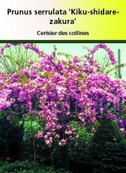 Prunus serrulata \' Kiku-shidare-zakura, arbre au feuillage caduc vert et aux fleurs rose vif au printemps.