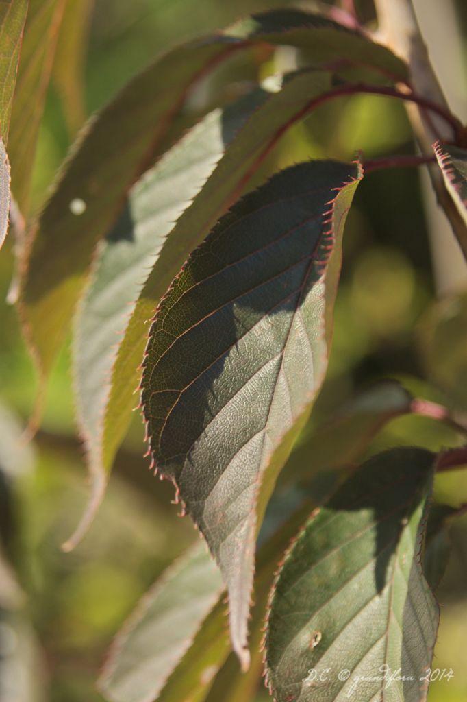 IMG_0359, arbre au feuillage caduc violet pourpre devenant rougeâtre en automne et au fleurs rose pourpre double en grappe au printemps.