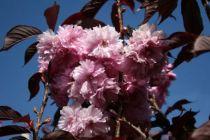 Prunus serrulata \' Royal Burgundy \'